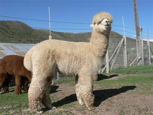 Alpacas for sale in Idaho